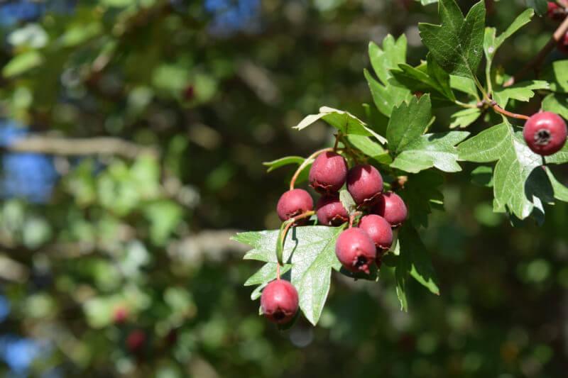 hawthorn berries on tree closeup